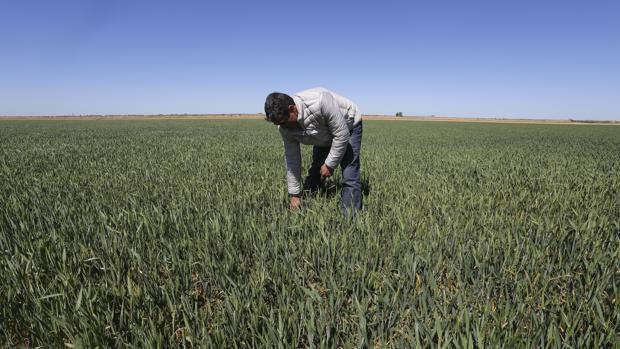 Fuentes de Nava es una de las localidades de Palencia que ha visto afectado su cultivo de trigo