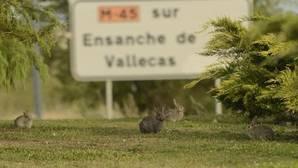 Una camada de conejos en una rotonda de Vallecas