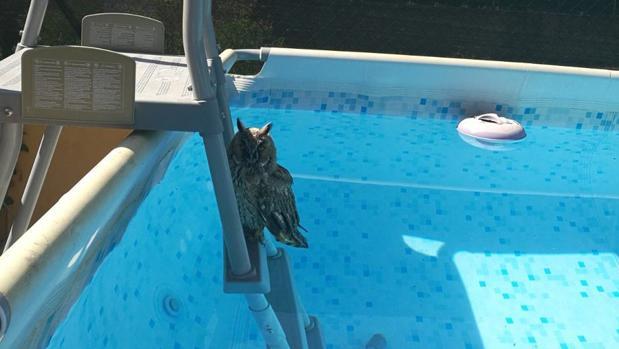 El búho chico rescatado de una piscina de Villarejo de Salvanés