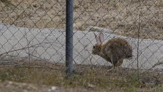 Un conejo corriendo en la periferia madrileña