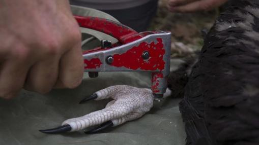 Detalle del ornitólogo tomando medidas del ave