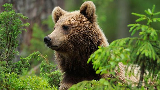 El oso, una amenaza añadida para la ganadería extensiva en el Pirineo aragonés