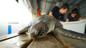 Imagen de la tortuga recuperada en el Oceanogràfic de Valencia