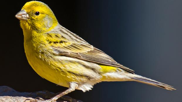 La testosterona provoca que los canarios compongan cada año una nueva canción