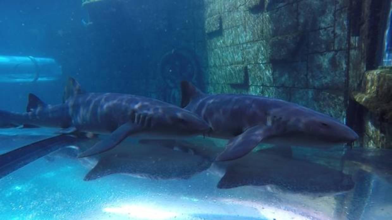 Los tiburones que podr s ver en poema del mar for Aquarium poema del mar