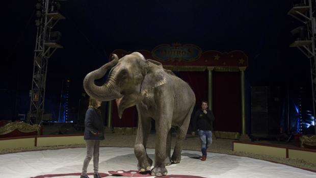 Un elefante, entre cuidadores en un circo