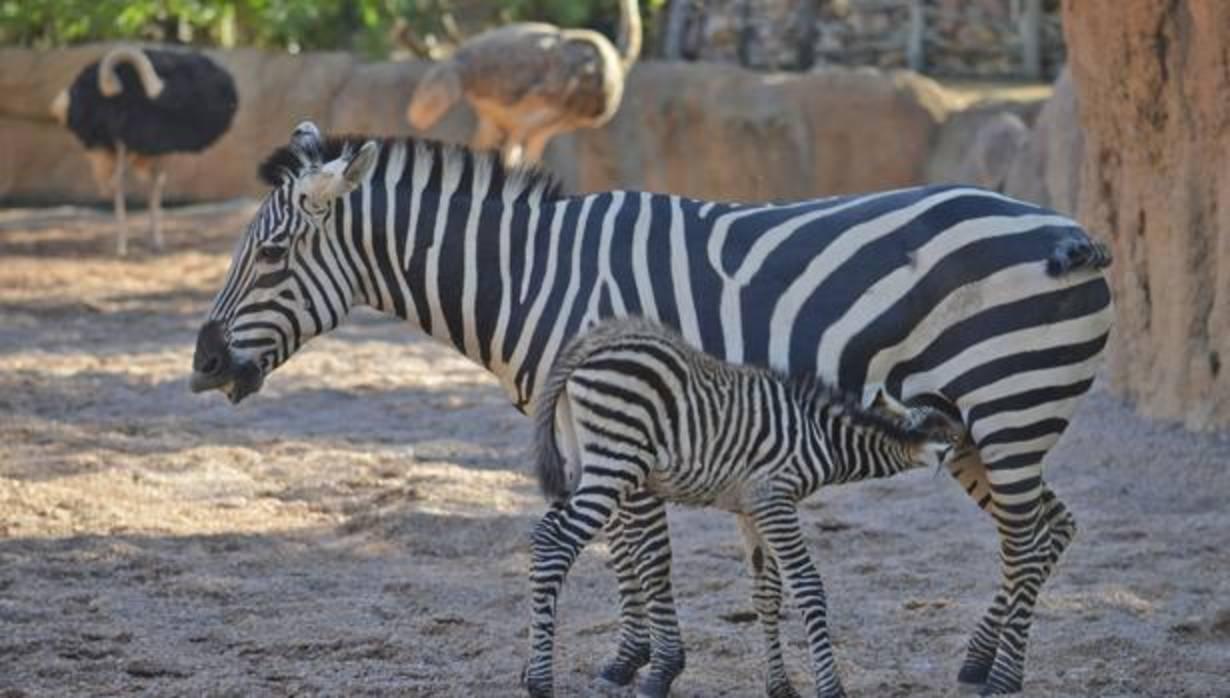V deo el grupo de cebras de bioparc celebra el inicio de - Bioparc precios valencia ...