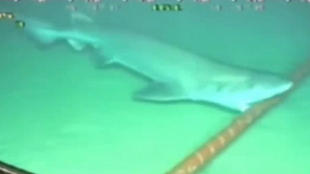 Uu tiburón intenta romper una funda de polietileno de un cable submarino cerca de Canarias
