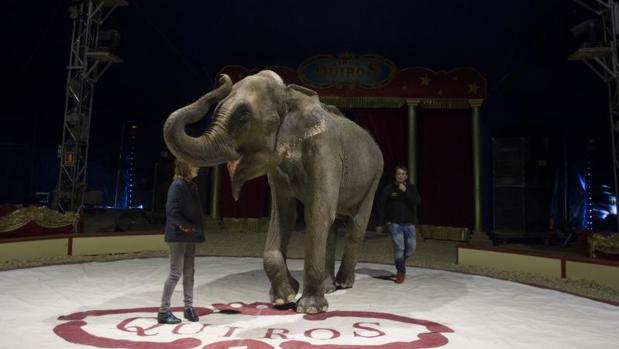 Un elefante ensaya un número de un espectáculo circense en una imagen de archivo