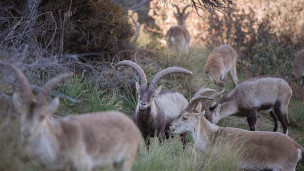 Ejemplares de cabra montés en el Parque Nacional del Guadarrama