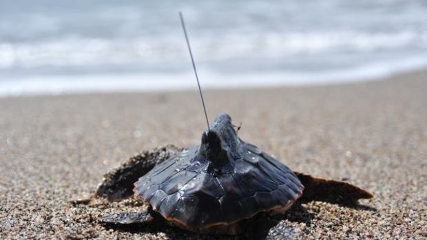 Una tortuga boba (Caretta caretta) enfilando el agua con un dispositivo de seguimiento