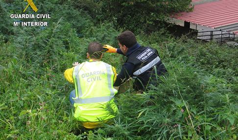 La Guardia Civil interviene 330 plantas de «burundanga» en Vizcaya