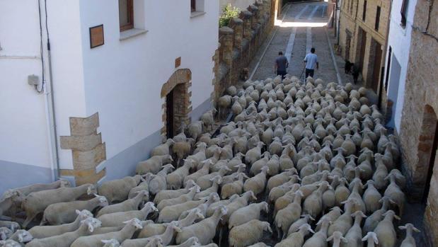 Ganado trashumante atravesando La Iglesuela del Cid (Teruel)