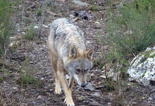 Ávila es la provincia más afectada por los ataques de lobos