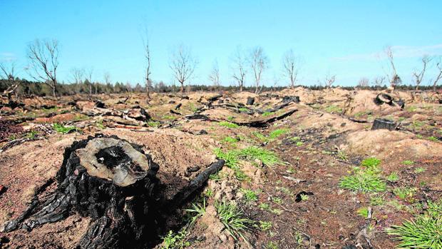 Zona talada en Salamanca ante la sospecha de un árbol infectado por nematodo