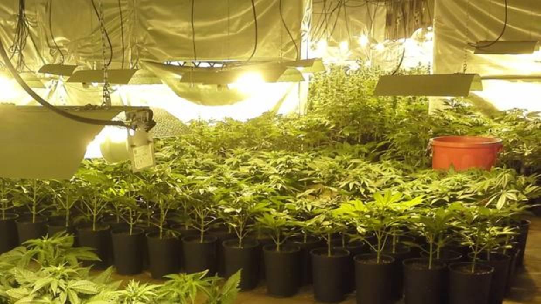 A juicio un padre y un hijo que cultivaban y vendían marihuana en su casa