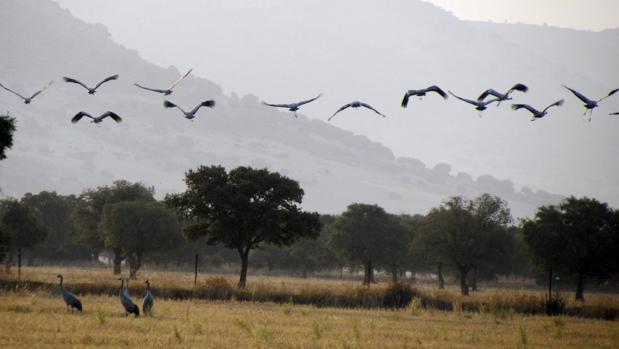Grullas en el Parque Nacional de Cabañeros