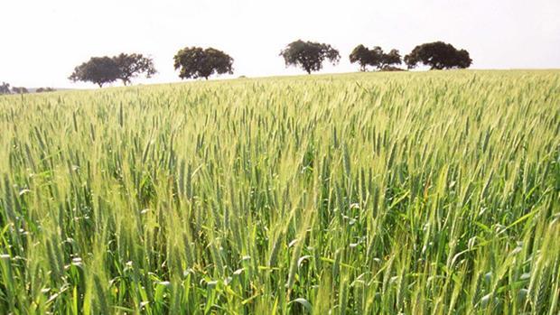 El 40% de la superficie se dedicaría a la producció de trigo, otro 40% para biomasa y un 20% para alfalfa