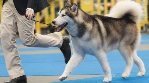 Un perro nórdico durante una exposición canina en una imagen de archivo