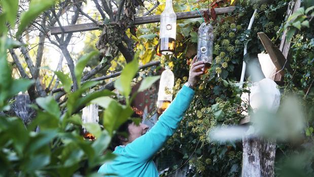 Una mujer coloca una trampa casera para capturar avispas velutinas cerca de su vivienda
