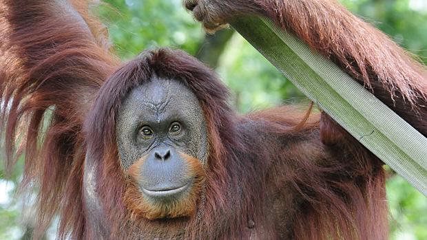 Hay 384 orangutanes en zoos europeos