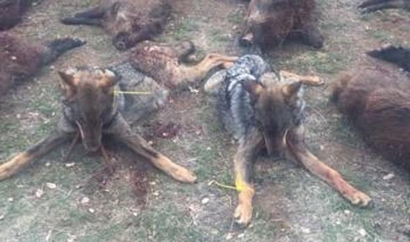 Últimos lobos muertos en Valladolid