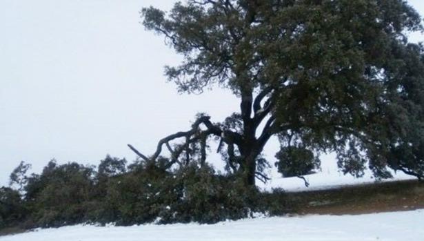 El árbol se ubica en una finca privada muy próxima al término municipal de Socuéllamos