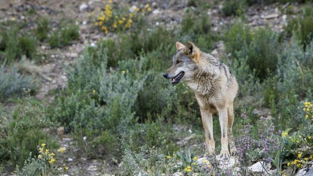 Un lobo en Sanabria (Zamora)