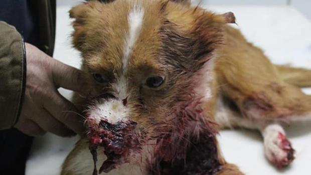 Imagen facilitada por Libera! del animal herido, en la clínica veterinaria donde fue sacrificado