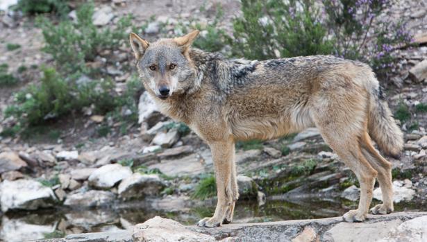 Ejemplar de lobo ibérico en Zamora