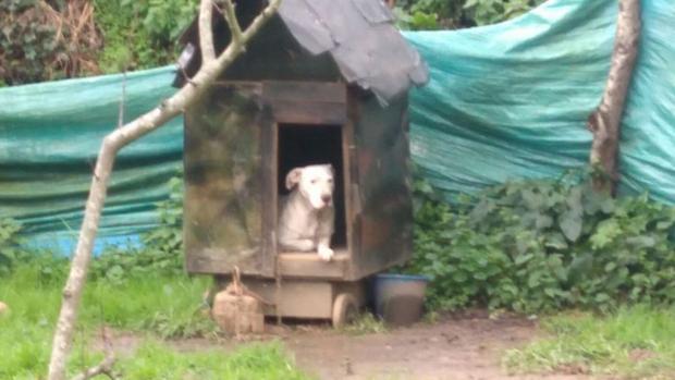 Imagen del perro encadenado en Cambre (La Coruña)