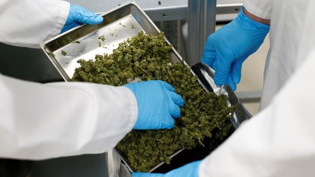 Empleados manipulan cannabis de un fabricante mundial de hierbas medicinales