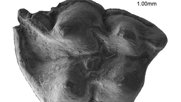 Imatge del fòssil descobert a Castelló