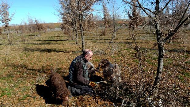 «Balto» junto a Julio Cabero y sus otros dos perros en el momento de localizar los primeros ejemplares de trufa negra que se cosechan en la provincia de Zamora