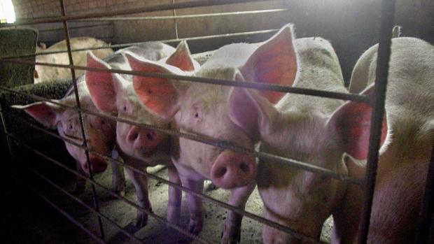 Advierten A La CHG De Los Riesgos De La Granja De Cerdos