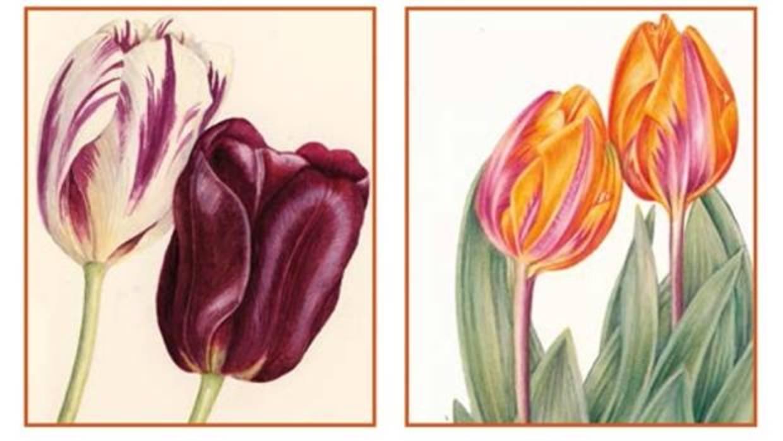 «Tulipa, tulipae»: los tulipanes como saber ilustrado