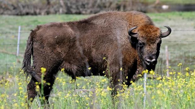 Uno de los bisontes europeos que han llegado desde Polonia a Segovia