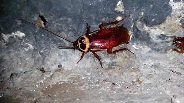 Una cucaracha australiana detectada en Madrid
