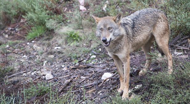 Un lobo en el Centro del Lobo Ibérico en la localidad de Robledo-Puebla de Sanabria (Zamora)