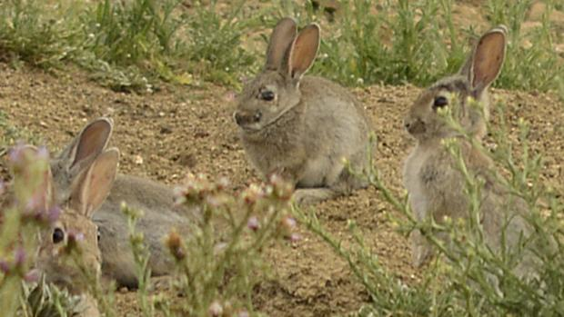 La proliferación de conejos se arrastra desde hace varios años y afecta a varias regiones españolas