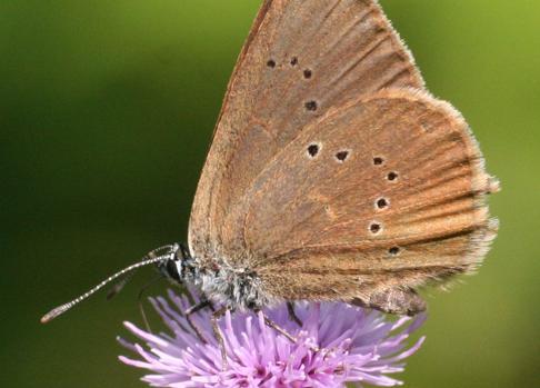 Una mariposa hormiguera oscura