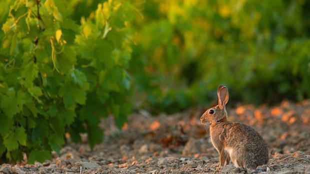 200.000 euros para protegerse de los ataques de los conejos a los cultivos