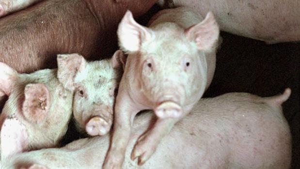 Junto al Ebro hay numerosas granajs de cerdos y vacuno que suman decenas de miles de animales