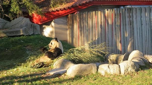 Oso panda gigante, recostado en su parcela al atardecer