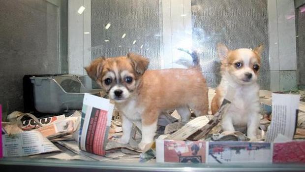 Dos cachorros en venta en una imagen de archivo
