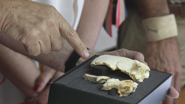 Cráneo encontrado en Atapuerca