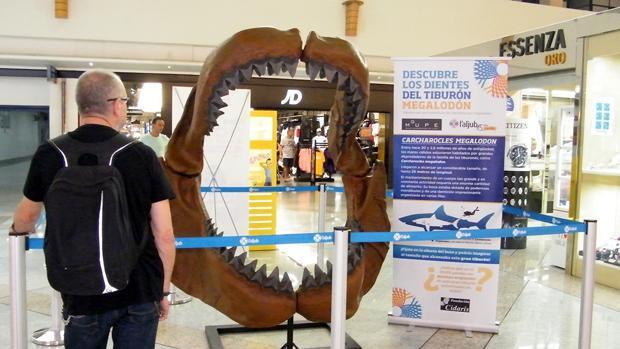 Un visitante observa la boca reconstruida del tiburón más grande de la historia, con cuatro dientes auténticos