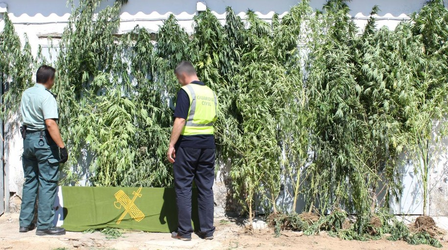 La Policía incauta 380 plantas de marihuna de un laboratorio clandestino en Pepino