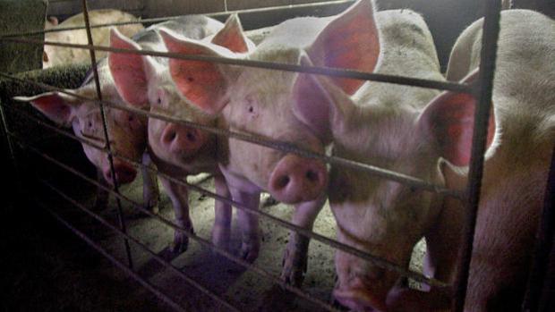 Están proliferando en la comunidad autónoma proyectos de macrogranjas industriales de porcino