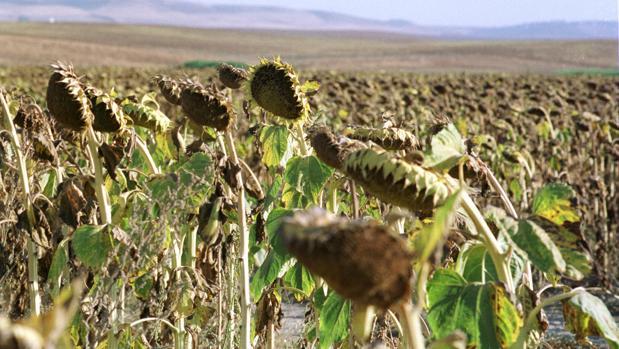 Los siniestros en los campos de girasoles ascienden a las 3.400 parcelas